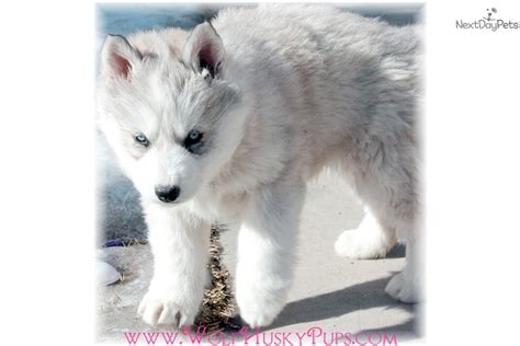 wolf puppies for sale wolfdog wolf hybrid puppies for sale from family breeders