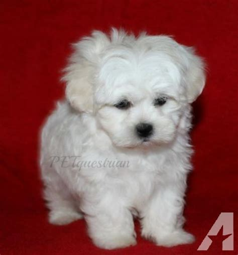puppies for sale jackson mi shichon teddy puppies in jackson michigan for sale breeds picture