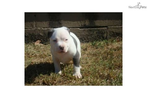 free puppies jackson tn american pit bull terrier puppies in tennessee breeds picture