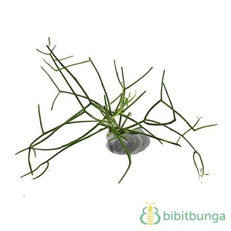 tanaman kayu urip patah tulang jual tanaman hias