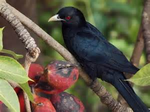 koel birds pictures