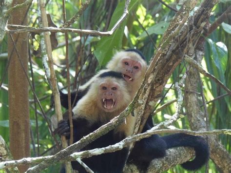 turisti per caso costa rica scimmie parco nazionale cahuita costa rica viaggi