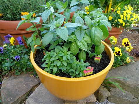 herb pots growing basil bonnie plants