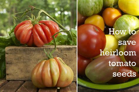 seeds saving a new season tomato 411