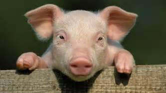 dead pig hung tree proposed refugee center holland walid shoebat