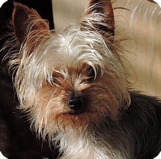 yorkies adoption sc sc yorkie terrier meet a for adoption