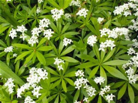 asp 233 rule odorante galium odoratum plantation culture