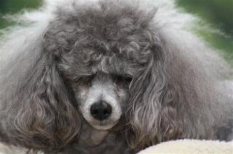 poodle hair image grey poodle toy poodle with bad hair poodles oh la la