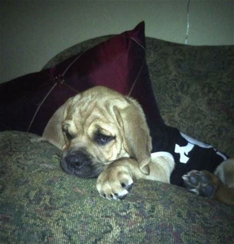 basset hound pug mix puppies bassugg breed information and pictures