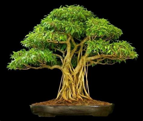 bonsai da appartamento come si coltiva il bonsai di ficus ginseng bonsai ficus