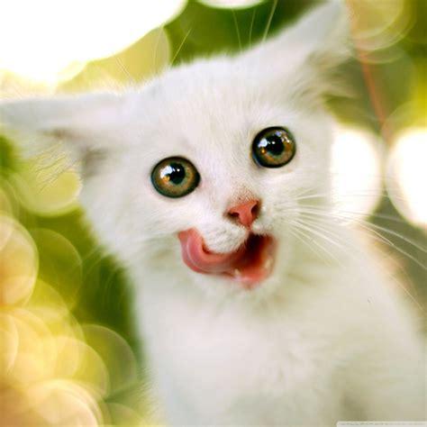 white kitten ultra hd desktop background wallpaper   uhd tv tablet smartphone