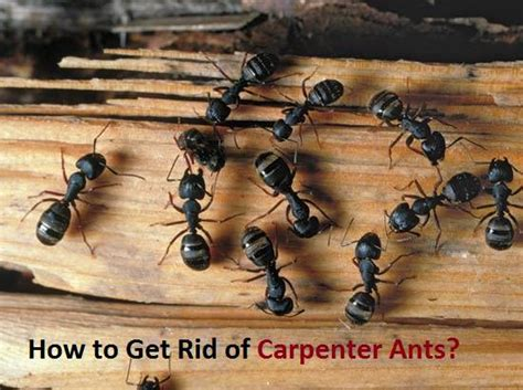 how to get rid of carpenter ants in bathroom how to get rid of carpenter ants