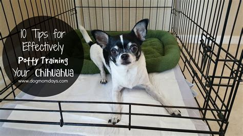 potty a chihuahua puppy 10 tips for effectively potty your chihuahua days