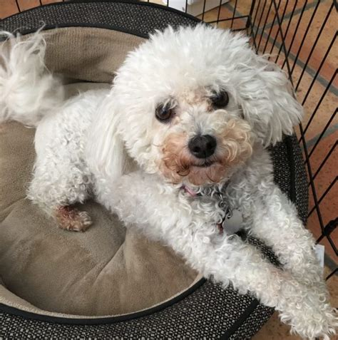 bichon frise puppies for adoption bichon frise rehoming adoption and rescue
