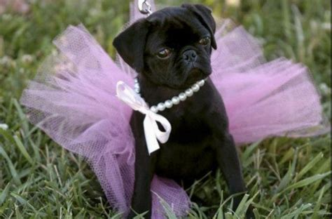 pugs in dresses 22 pugs who dress to impress for every occasion barkpost