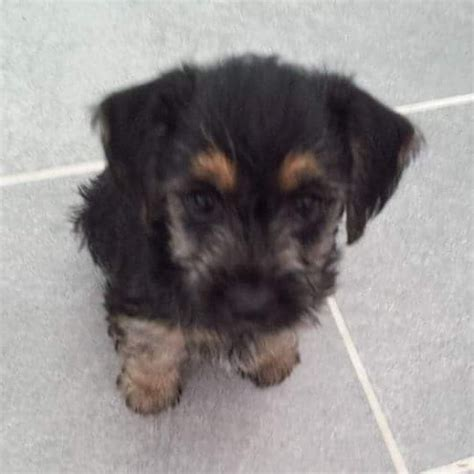 forever puppy breed loving jugapoo puppy looking for forever home west byfleet surrey pets4homes
