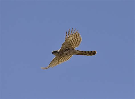 sparrowhawk ged