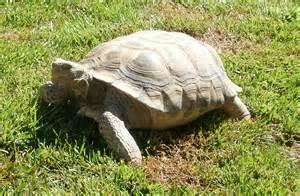 tag archives pet tortoises