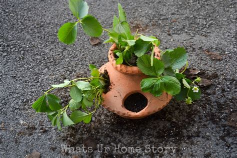 Strawberry Planter Pots by How To Plant Strawberry Plants In Strawberry Pots