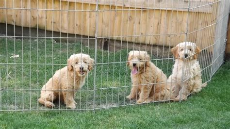 goldendoodle puppy toys goldendoodle info temperament puppies