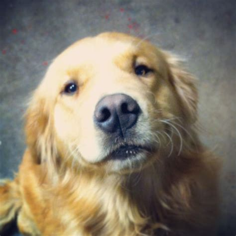 golden retriever habits 5933 best images about golden on beautiful dogs the golden and best dogs