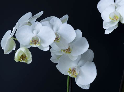 moth orchids phalaenopsis amabilis moth orchid world of flowering plants