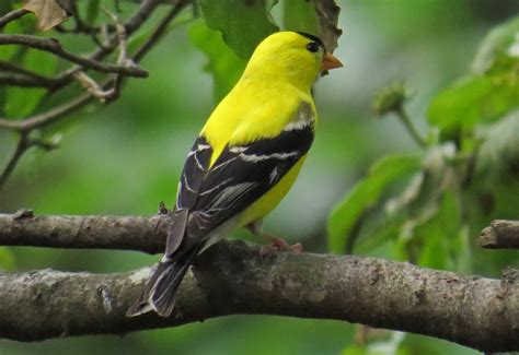 american goldfinch backyard bird nerd