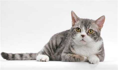 american wirehair cat breeders american wirehair cat breed information