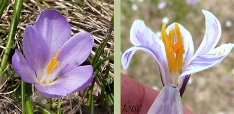 Crocus Plante Vivace Ou Annuelle by Crocus De Printemps V 233 G 233 Tal