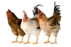 allevamenti animali da cortile animali da cortile avicoli e conigli