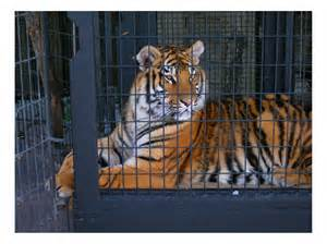 Home Design Florida photography tiger in a cage photo by greg dampier by