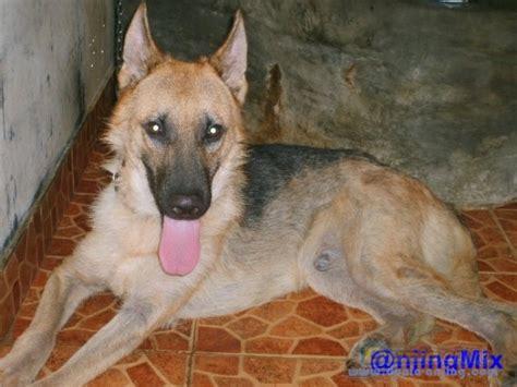 Rantai Anjing Murah dunia anjing jual anjing lainnya mix breed herder atau german shepherd murah