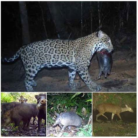 what does a jaguar eat jaguar largest of the big cats in the americas