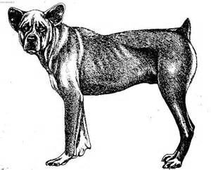 photo saint miguel cattle dog dog standard cao fila de
