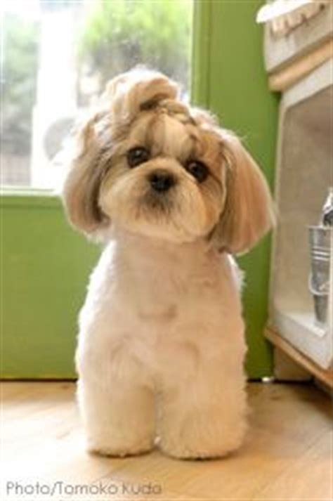 shih tzu haircuts styles lhasa apso haircut styles newhairstylesformen2014 com