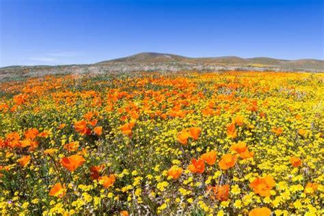 california antelope valley poppy blooms set