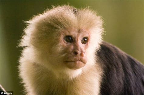 Capuchin Monkey Facts, History, Useful Information and