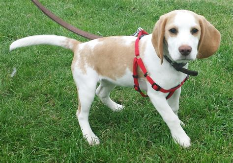 lemon beagle puppies for sale gorgeous lemon beagle 4 months for sale forest row east sussex pets4homes