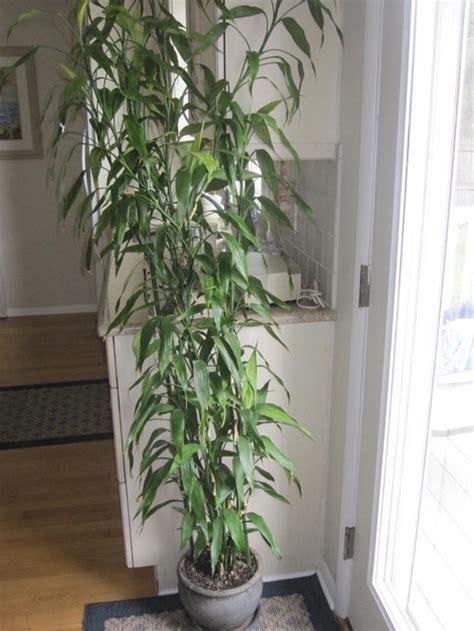 Tanaman Yellow Dracaena 7 ft lucky bamboo dracaena starting to turn yellow help