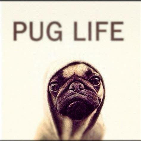 pugs lifestyle pug yo fluffy puppies