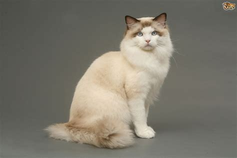 ragdoll cat size ragdoll cat breed information buying advice photos and