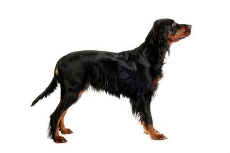 gordon setter doodle dog clipping by breed award winning masterclip clippers