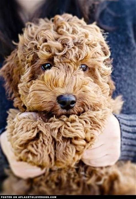 goldendoodle puppy growling best 25 labradoodle puppies ideas on