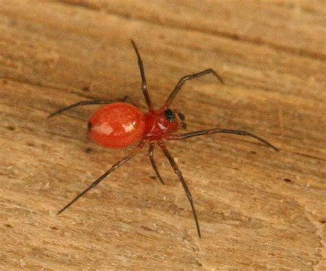 red house spider dwarf spider a tiny red and black spider ceraticelus