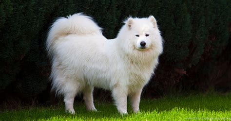 samoyed dog dogs canine wallpapers desktop background