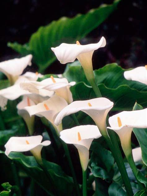 top 28 calla sun or shade care maintenance of calla