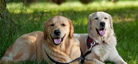 gold coast dogs canine companion class 1 tuesday nights march 1st gold coast obedience club