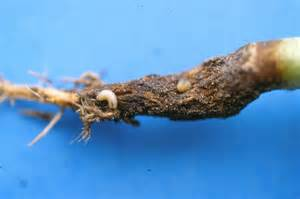 Garden Pests In The Soil Identification - tips to help control and prevent cabbage maggots