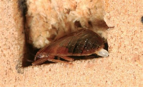 kill bed bug eggs 408 best images about bed bugs on pinterest