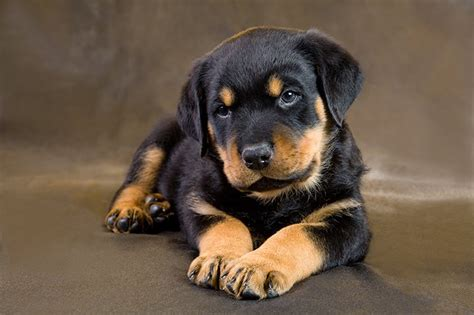 where can i buy a rottweiler puppy rottweiler puppies dogtime